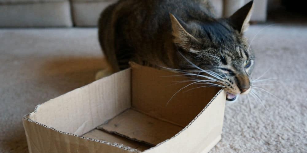 Cat Eating Cardboard