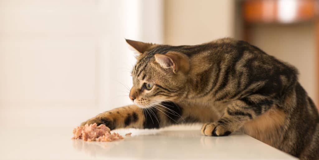 Cat Eating With Paw
