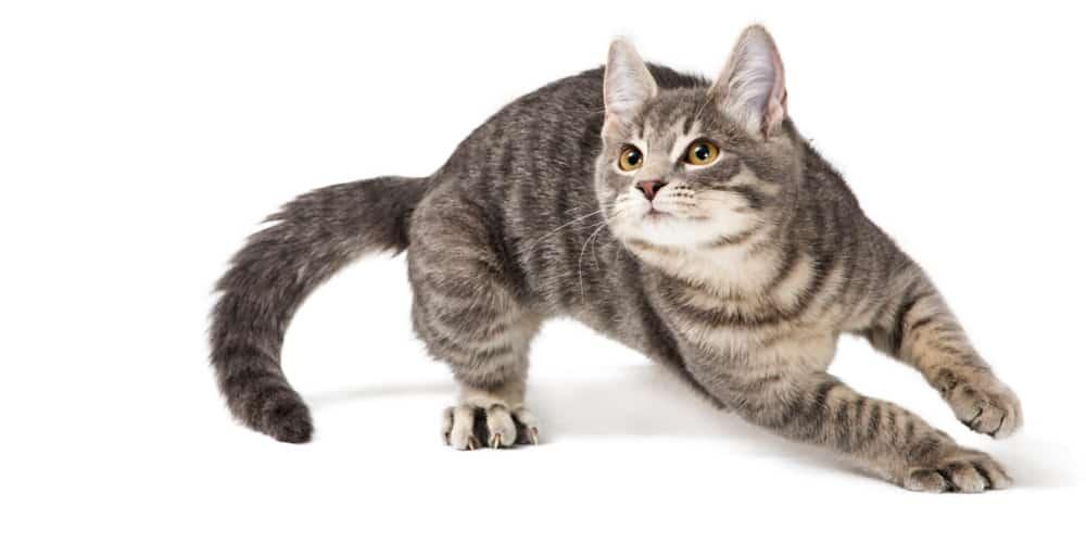 Cat running zoomies